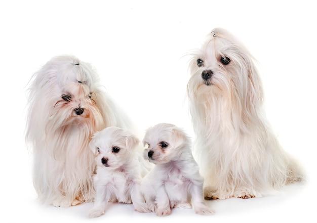 Famille de chiens maltais Photo Premium