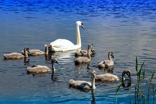 Famille De Cygnes Sauvages Sur Le Lac. Oiseau Fier Et Fort. La Faune Naturelle. Photo Premium