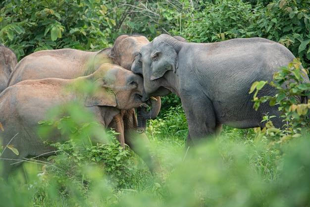 Famille d'éléphants sauvages d'asie en asie. Photo Premium