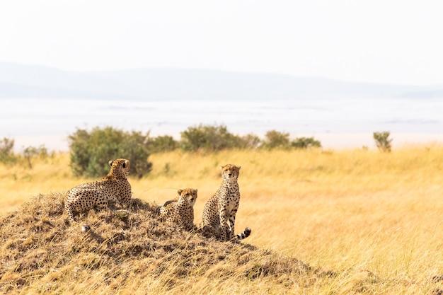 Une Famille De Guépards Du Masai Mara Sur Une Colline Afrique Kenya Photo Premium