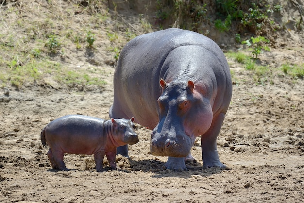 Famille D'hippopotames Dans Le Parc National Du Kenya, Afrique Photo gratuit