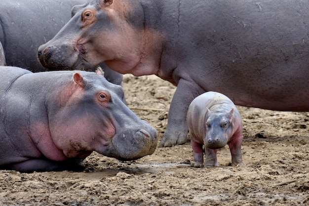 Famille D'hippopotames Hors De L'eau Photo gratuit
