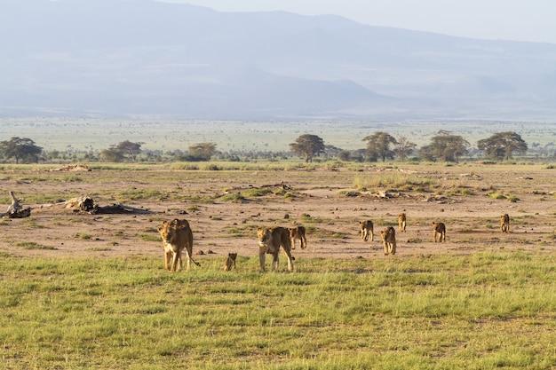 Famille De Lions Dans La Savane Au Kenya Photo Premium