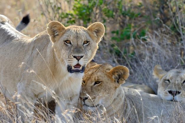 Famille De Lions Dans La Savane Photo gratuit