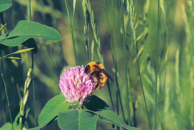 Fat bee trouve le nectar dans le trèfle rose de près. insecte sur fleur avec fond sur fond flou vert. Photo Premium