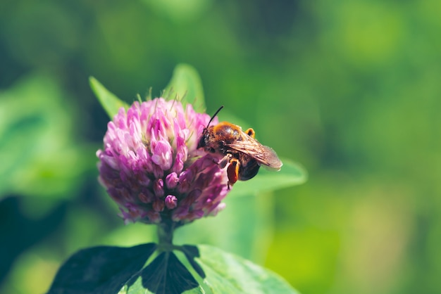 Fat bee trouve le nectar dans le trèfle rose de près. Photo Premium