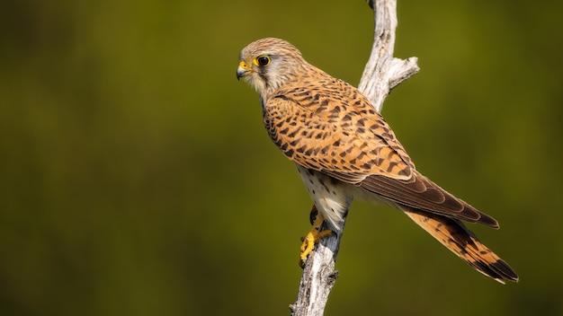 Faucon Crécerelle Femelle Assis Sur Une Branche Dans La Nature D'été Photo Premium