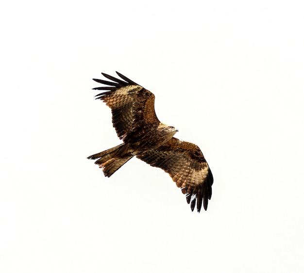 Faucon voler au-dessus isoler blanc Photo Premium