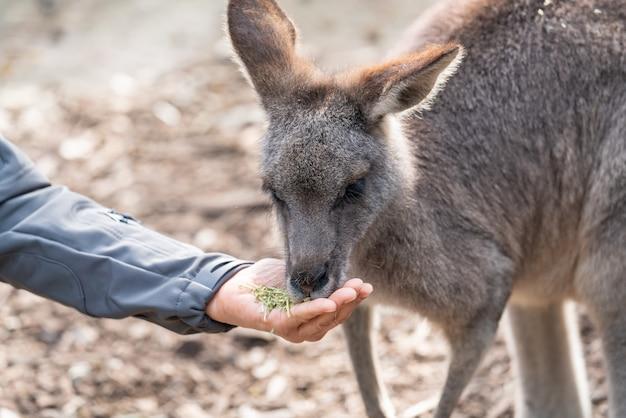 Faune australienne: une personne nourrit à la main un kangourou sauvage à l'extérieur. Photo Premium