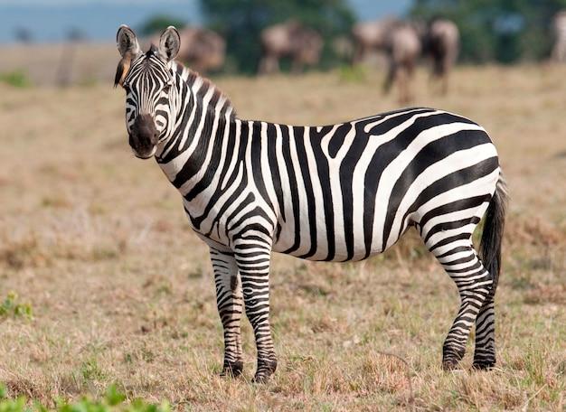 La Faune Zébrée Au Kenya Photo Premium