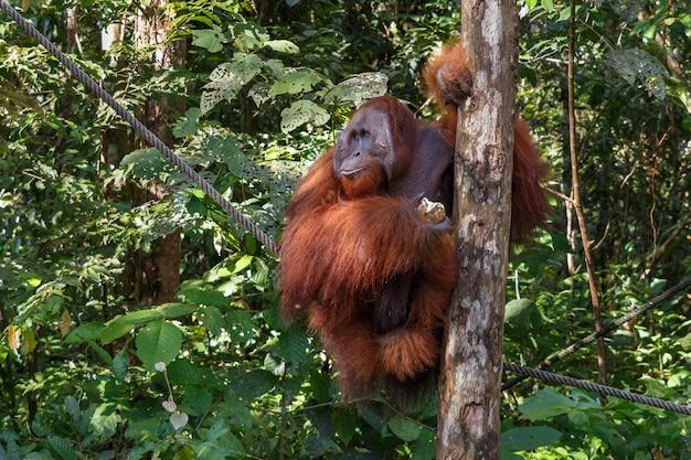 Une femelle orang-outan Photo Premium