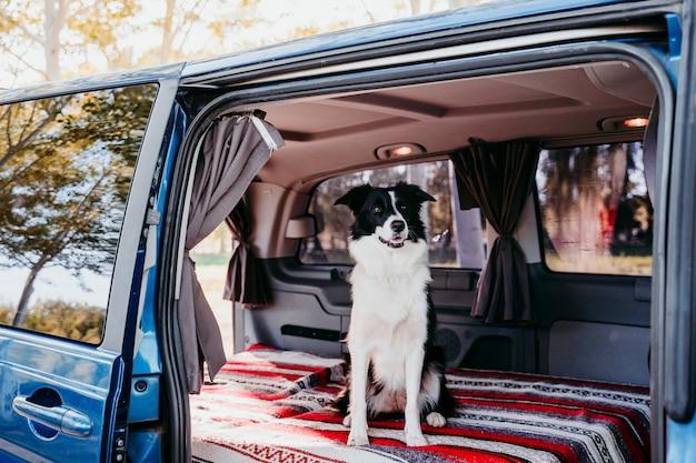 Femme Et Chien Border Collie Dans Une Camionnette. Concept De Voyage Photo Premium