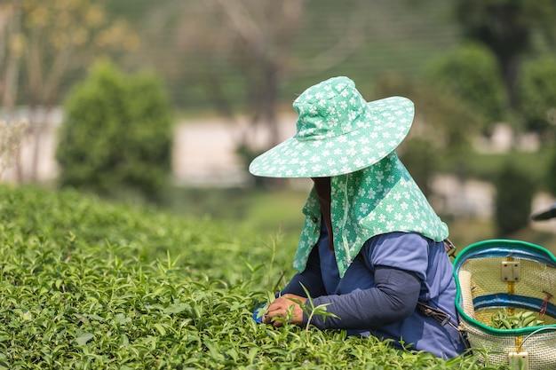 Femme Ouvrier Cueillant Des Feuilles De Thé Dans Une Plantation De Thé Au Nord De La Thaïlande Photo Premium