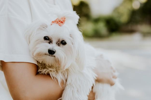 Femme tient son mignon terrier maltais. Photo Premium