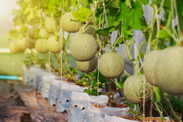 Ferme De Melon Cantaloup Japonais Photo Premium