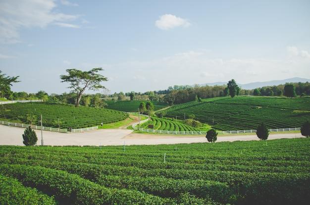 Ferme de thé vert avec ciel bleu et route Photo Premium