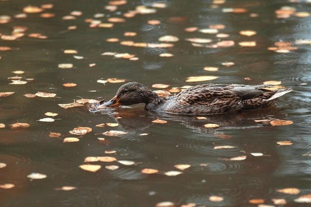 Fermer. en automne, le canard du parc nage dans le lac entouré de feuilles mortes. Photo Premium