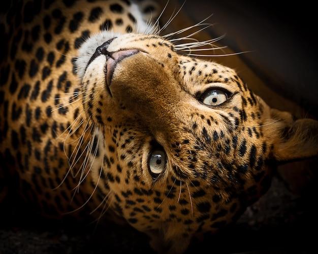 Fermer le léopard Photo Premium