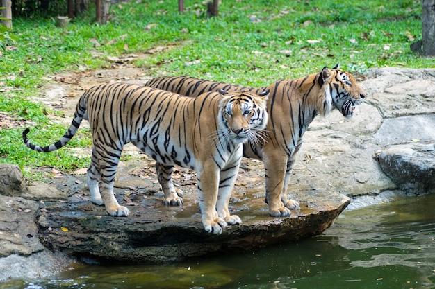 Fermer le tigre Photo Premium