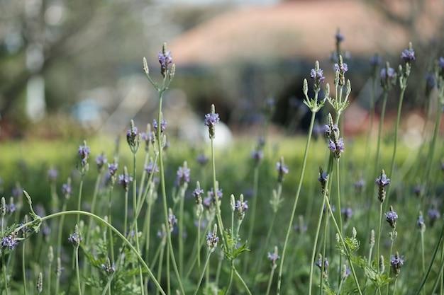Fermez la lavande pourpre pendant sa floraison dans le jardin avec la lumière naturelle. Photo Premium
