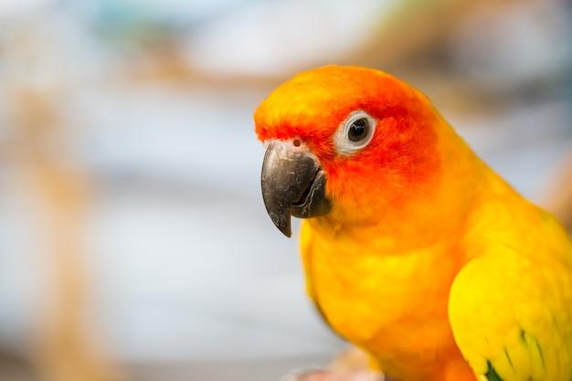 Fermez la tête et la souris de la perruche de sun ou de l'oiseau perroquet jaune et orange de sun conure Photo Premium