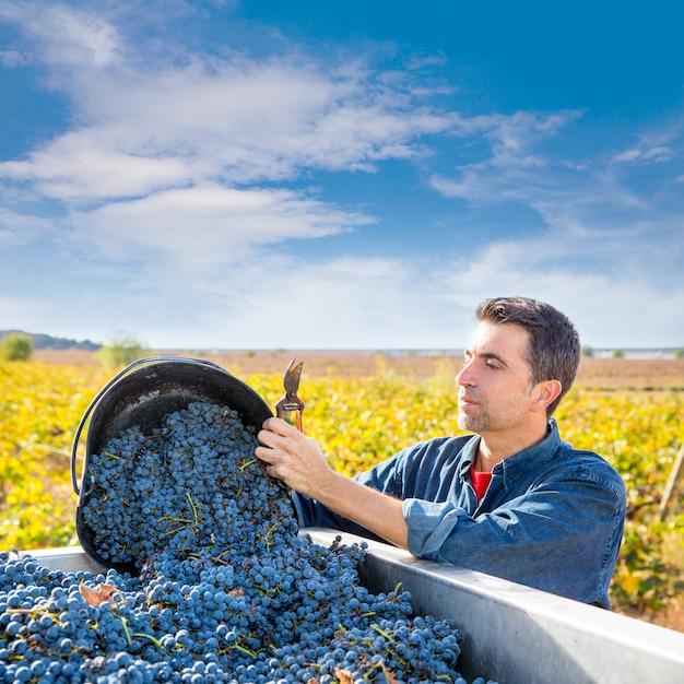 Fermier vigneron méditerranéen récolte cabernet sauvignon Photo Premium