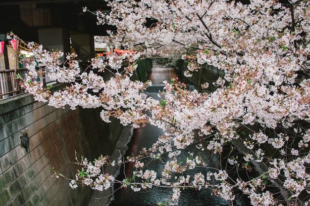 Festival sakura Photo Premium