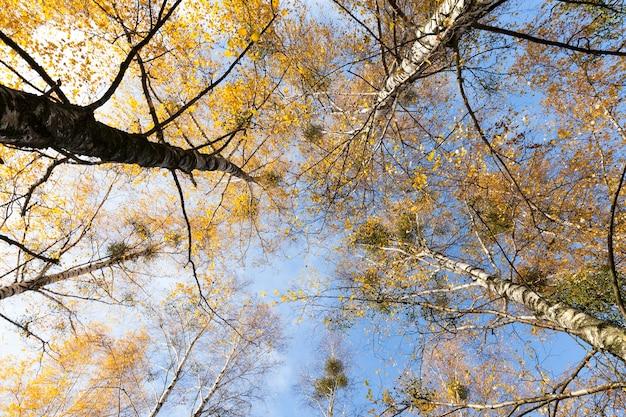 Feuillage De Bouleau Jauni En Automne. Saison D'automne, Cime Des Arbres Photographiée Photo Premium