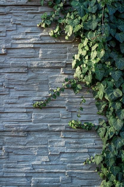 Feuillage De Lierre Sur Un Mur Décoratif En Pierre D'ardoise Blanche. Photo Premium