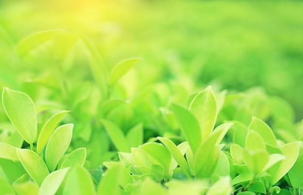 Feuille d'arbre vert sur fond flou dans le jardin d'été avec les rayons du soleil. la nature en gros plan laisse dans le champ pour une utilisation dans la conception web ou le papier peint. Photo Premium
