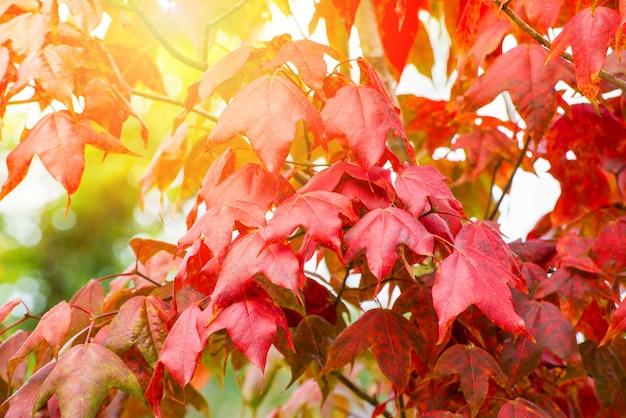 Feuille d'érable rouge sur l'érable automne saison colorée dans les feuilles de la forêt Photo Premium