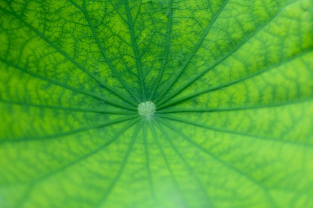 Feuille de lotus beauté verte et motif de veine dans la feuille Photo Premium