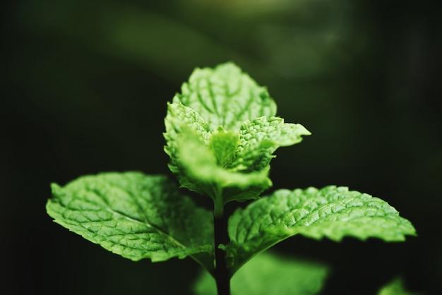 Feuille de menthe poivrée dans le jardin feuilles de menthe fraîche dans une nature verte d'herbes ou de légumes Photo Premium
