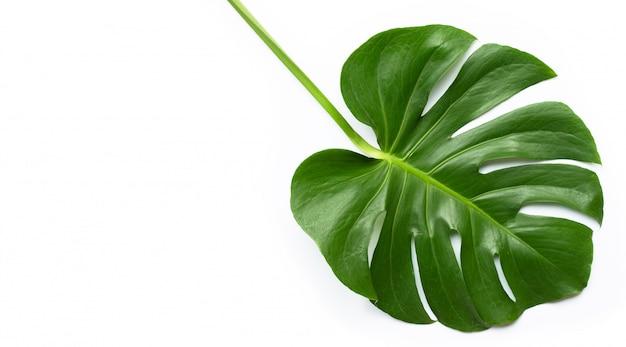 Feuille De Plante Monstera Sur Blanc Photo Premium