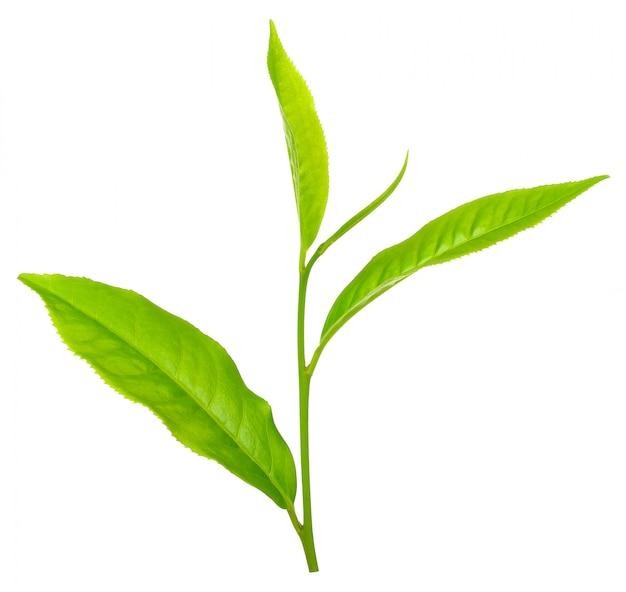 Feuille de thé isolé sur un tracé de détourage blanc Photo Premium