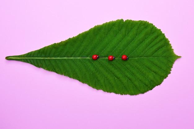 Feuille verte d'un marronnier et trois coccinelles sur rose Photo Premium