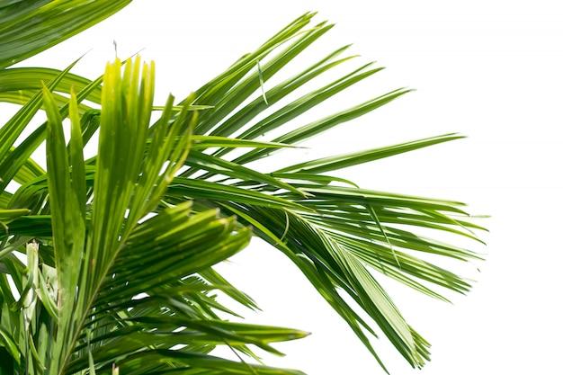 Feuille verte de palmier isolé Photo Premium