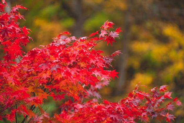 Les feuilles d'automne colorées changent de couleur en rouge au japon. Photo Premium