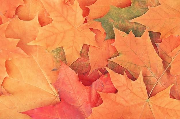 Feuilles d'érable automne fond Photo Premium