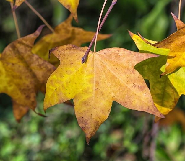 Feuilles d'érable automne jaune-orange Photo Premium