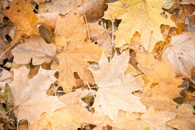 Feuilles d'érable jaunes. image de fond. la texture des feuilles Photo Premium