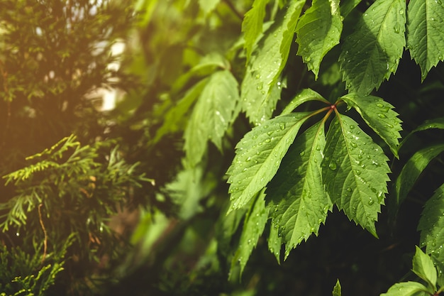 Feuilles Humides De Raisins Sauvages. Feuilles Vertes Après La Pluie. Photo Premium
