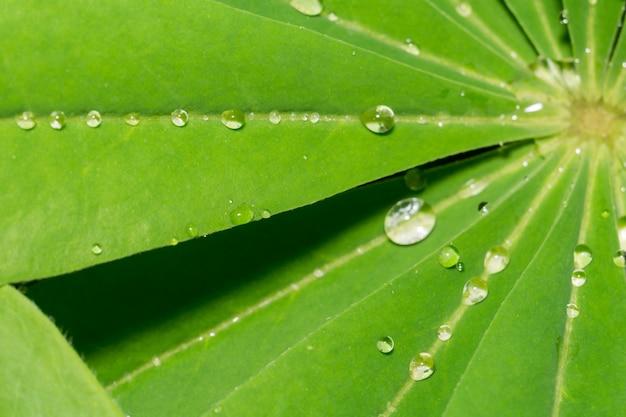 Feuilles de lupinus et gouttes d'eau Photo Premium