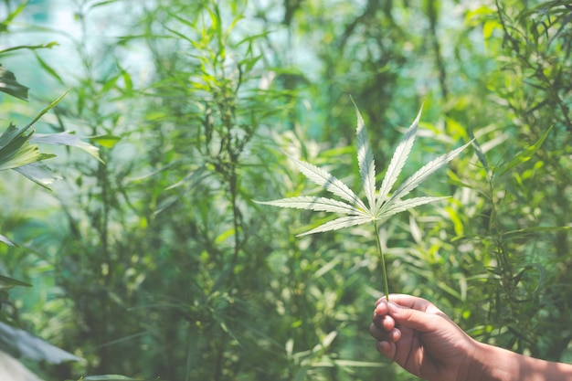 Feuilles de marijuana à la main. Photo gratuit