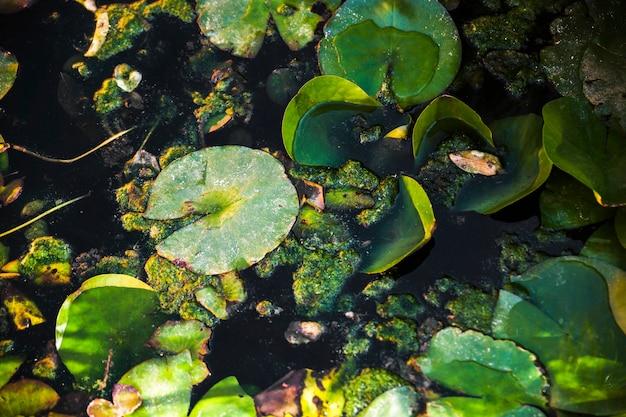 Feuilles de nénuphar dans l'étang Photo gratuit