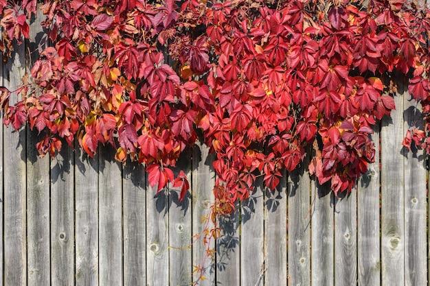 Feuilles Rouge Vif De Plantes De Jardin Sur Mur De Planche Ancienne Woodel Photo Premium