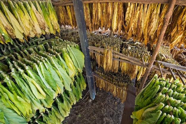 Feuilles de tabac dans l'usine de séchage Photo Premium
