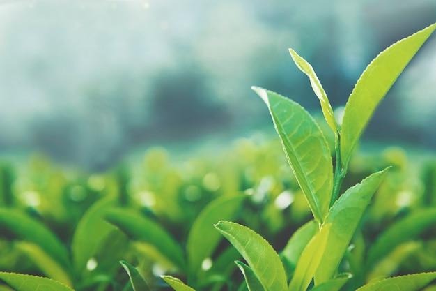 Feuilles de thé en bonne santé Photo gratuit