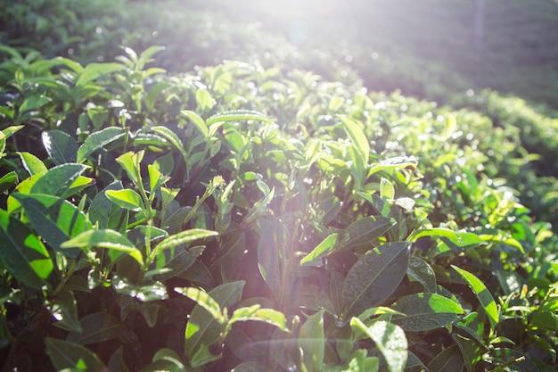 Feuilles De Thé Vert Dans Une Plantation De Thé Le Matin. Feuilles De Thé Vert Photo Premium