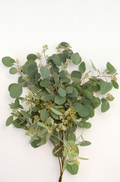 Feuilles vertes d'eucalyptus populus sur fond blanc Photo Premium